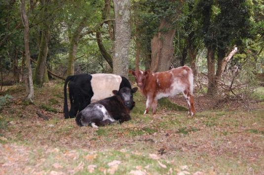 vaches en liberté